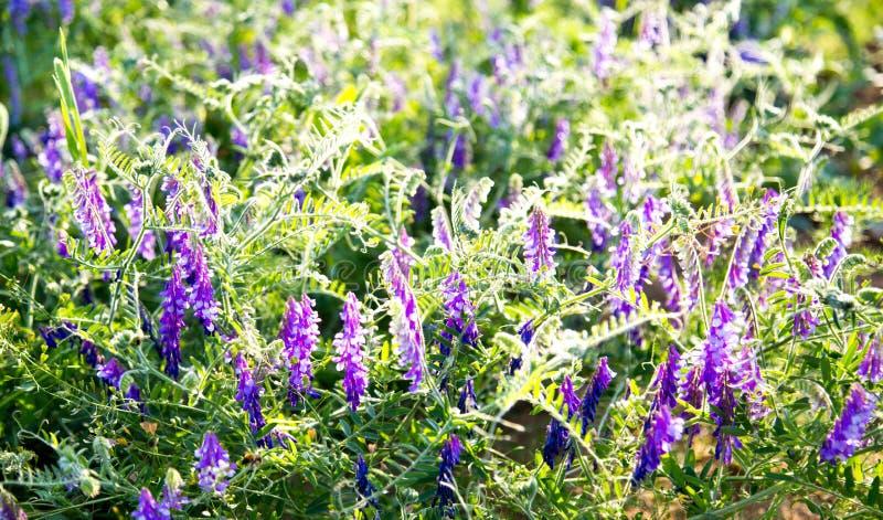 Guisantes del ratón de la hierba con las flores púrpuras en los rayos del sol poniente imagen de archivo libre de regalías