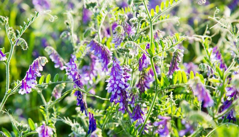 Guisantes del ratón de la hierba con las flores púrpuras en los rayos del sol poniente foto de archivo