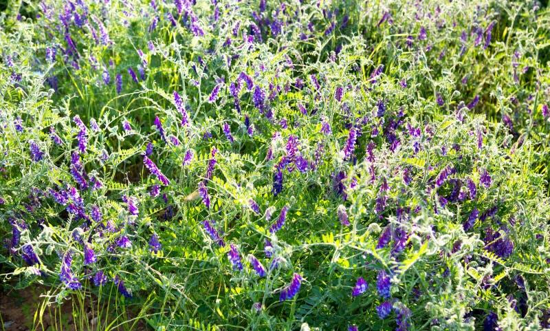 Guisantes del ratón de la hierba con las flores púrpuras en los rayos del sol poniente imagen de archivo