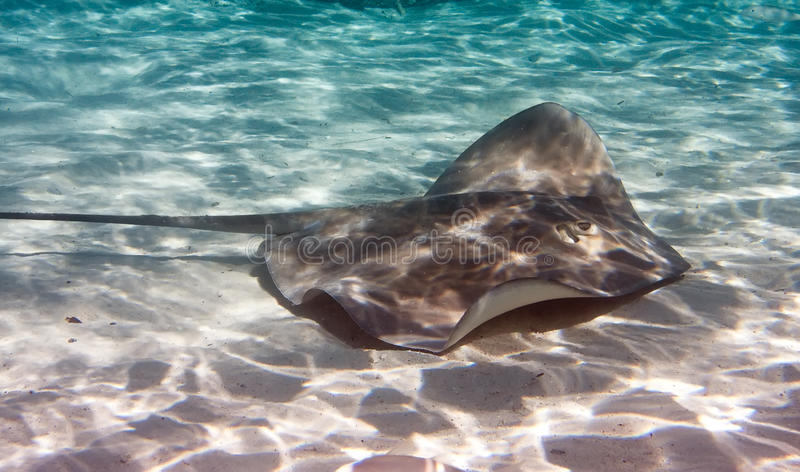 Guitarfish under water lies merging with a sandy bottom stock images