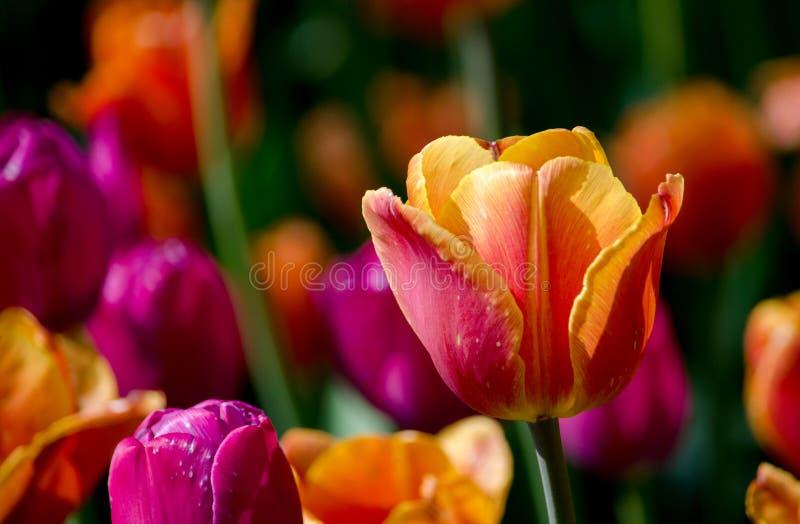Gul apelsin och magentafärgat blomma för tulpan fotografering för bildbyråer