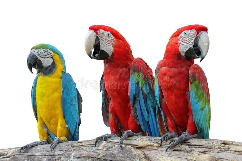Gul ara som är röd och, eller papegoja som är härlig på den isolerade torra filialen arkivfoton