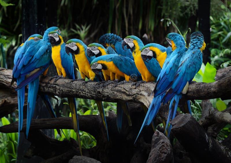 Gul ara som är röd och, eller papegoja som är härlig på torr filial i gummina fotografering för bildbyråer
