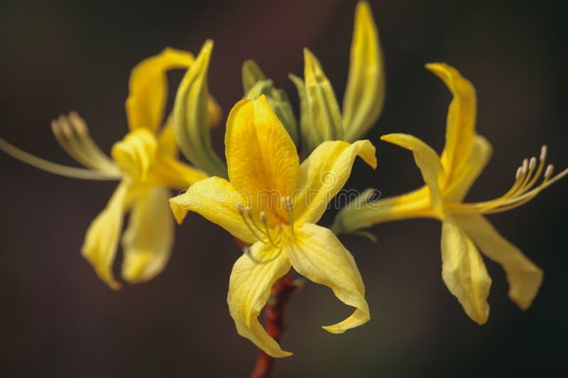 Gul azaleaväxt royaltyfria foton