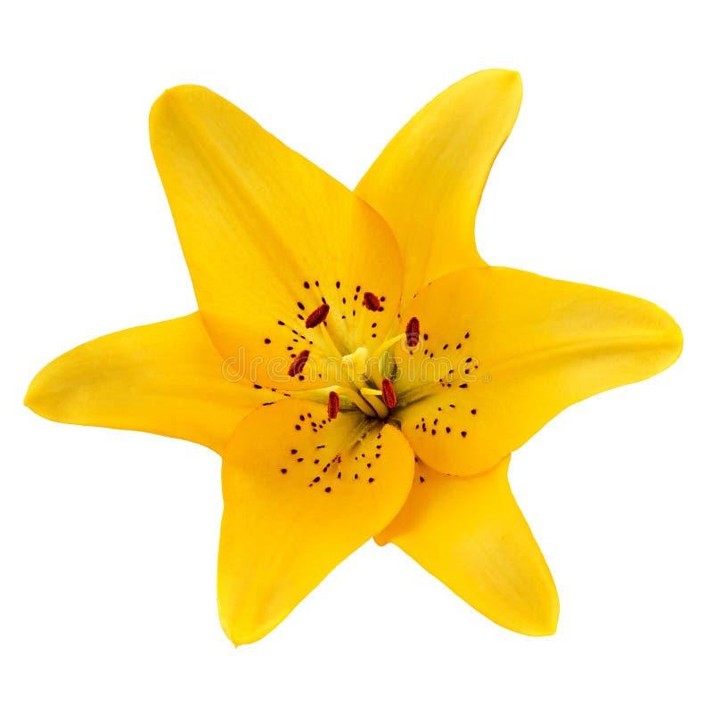Gul bärnstensfärgad lilja för blomma som isoleras på vit bakgrund Närbild royaltyfri fotografi