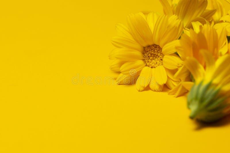 Gul bakgrund med calendulaen med kopieringsutrymme medicinal ?rtar Ringblommablomma på gul bakgrund med kopieringsutrymme för din royaltyfria bilder