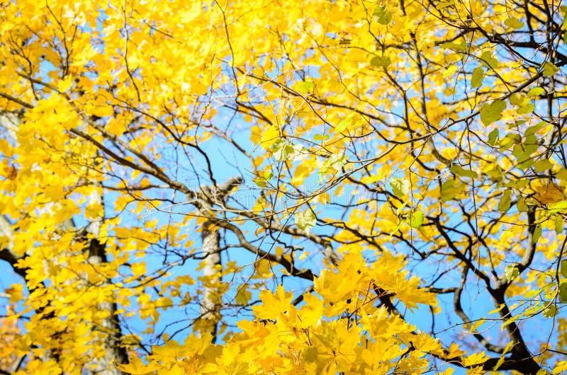Gul blast av höstlönnträd med guld- sidor för höst mot den blåa himlen i dag av nedgången - höstbakgrund royaltyfri foto