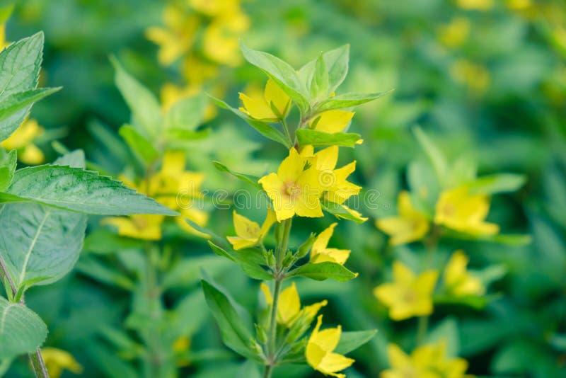 Gul blom- blom för blommabakgrund wallpaper arkivfoton