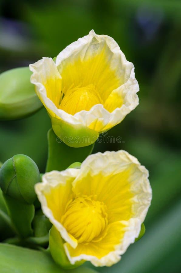 Gul blomma av den Limnocharis flavaen arkivbilder