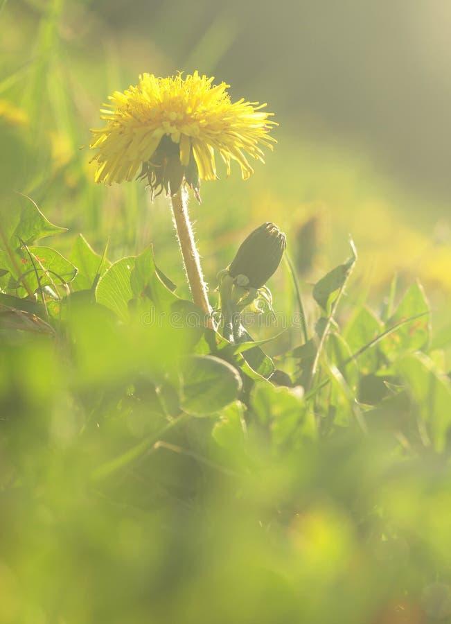 Gul blomma av den medicinska växten i gräs på äng nära skog med gröna sidor och stammen på solnedgången Blomma maskrosblomman på  arkivfoto