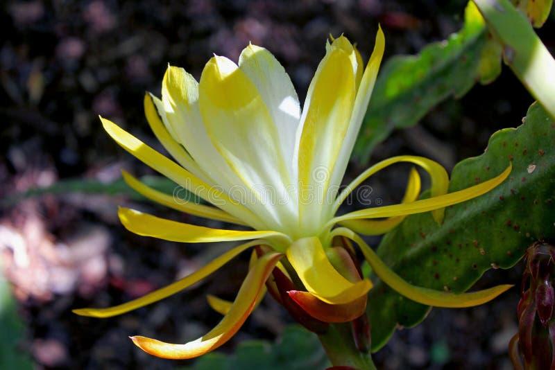 Gul blomma av denblommande cereusen fotografering för bildbyråer
