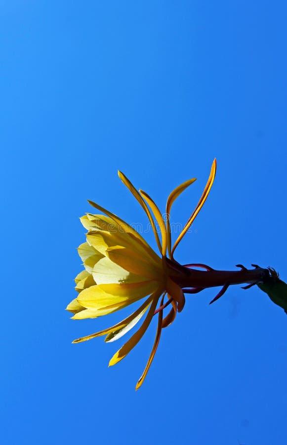 Gul blomma av denblommande cereusen royaltyfri bild