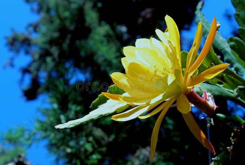 Gul blomma av denblommande cereusen arkivbilder