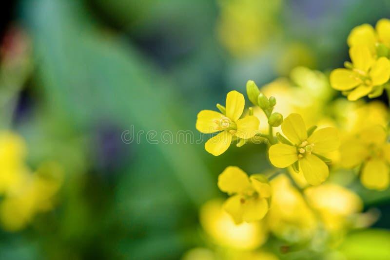 Gul blomma av lös senap royaltyfri fotografi
