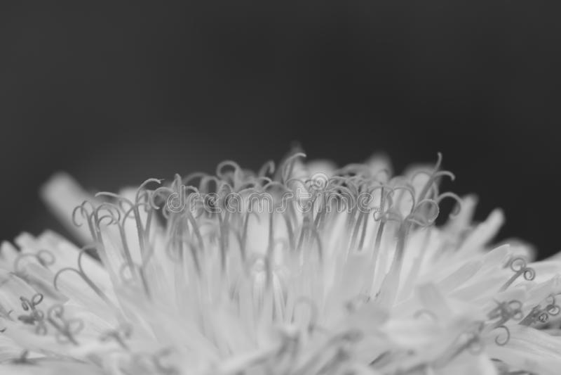 Gul blomma av maskrosen royaltyfri foto