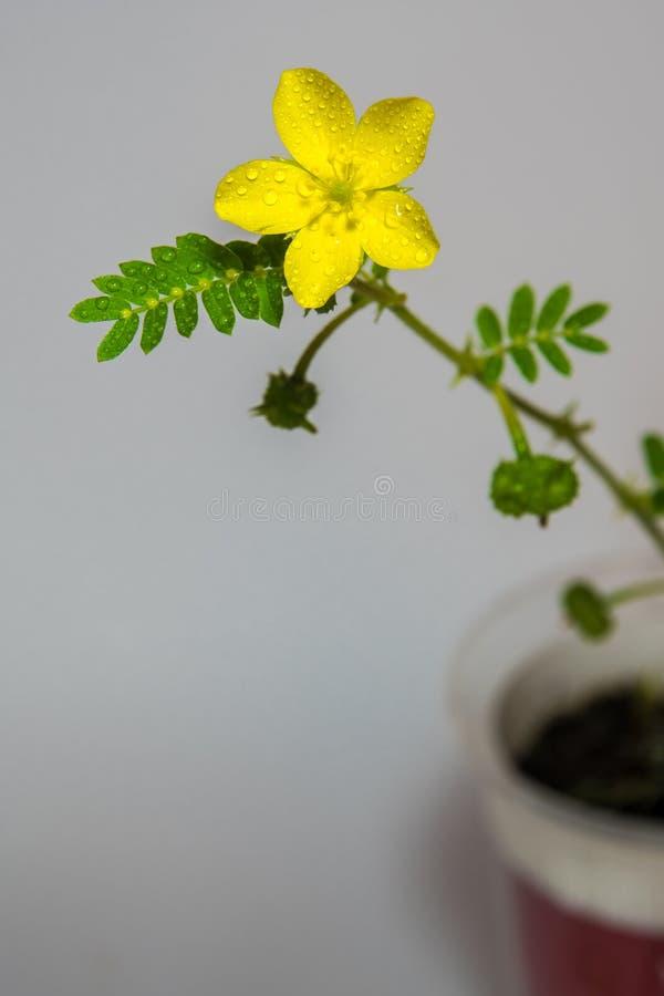 Gul blomma av små caltrops ogräs, isolerad blomma på gråa lodisar royaltyfri fotografi