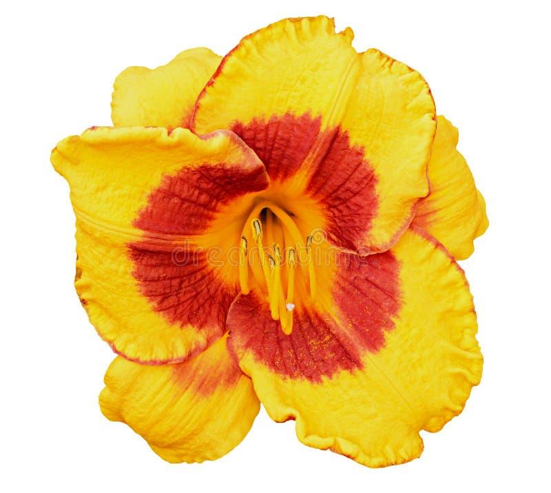 Gul blomma för daylily som (Hemerocallis) isoleras på vit royaltyfria foton