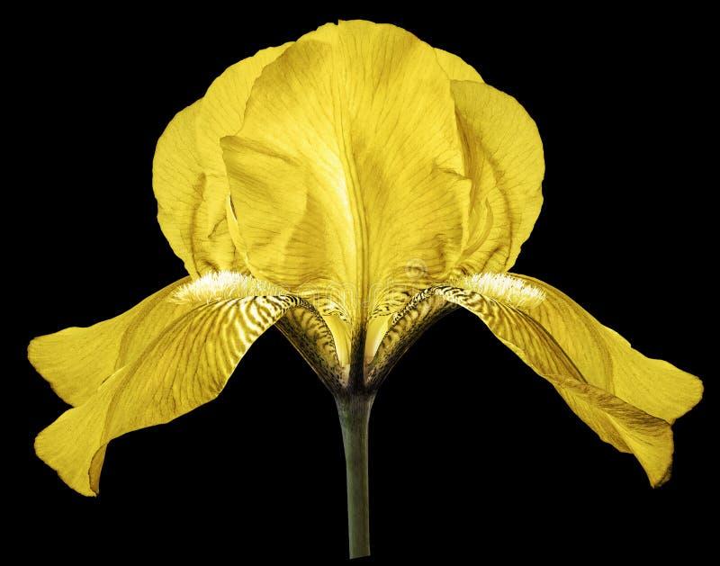 Gul blomma för iris på den svarta isolerade bakgrunden med urklippbanan closeup arkivbild