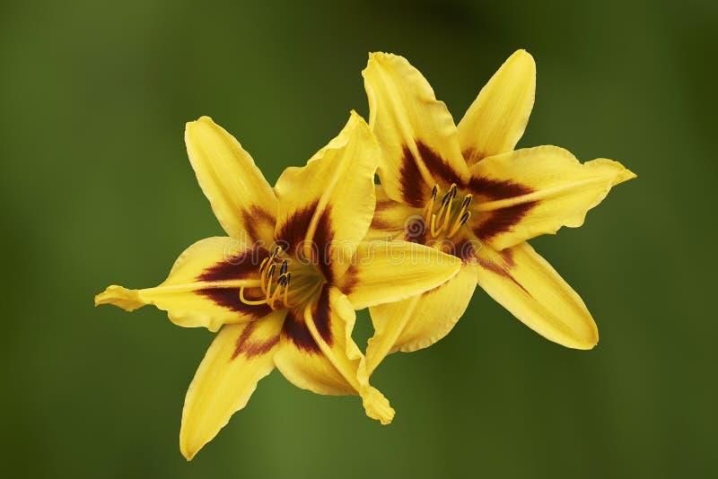 Gul blomma för lilja två royaltyfri foto