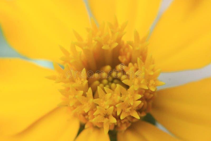 Gul blomma för makroskott för bakgrund royaltyfri bild
