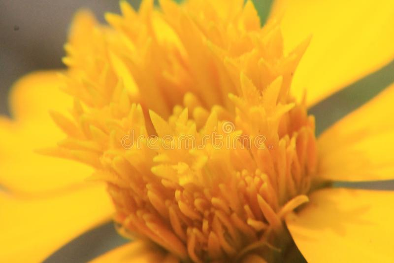 Gul blomma för makroskott för bakgrund arkivbild
