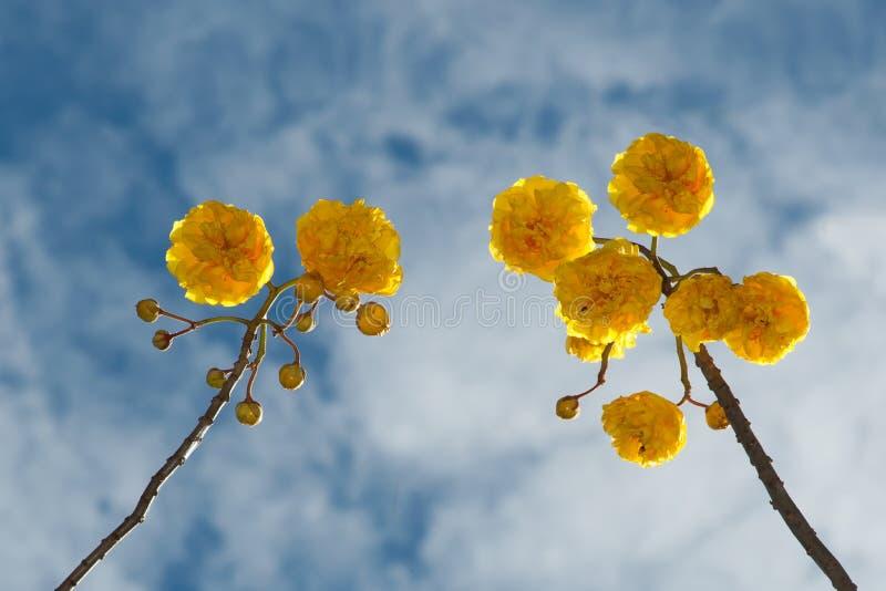 Gul blomma för siden- bomull arkivbilder