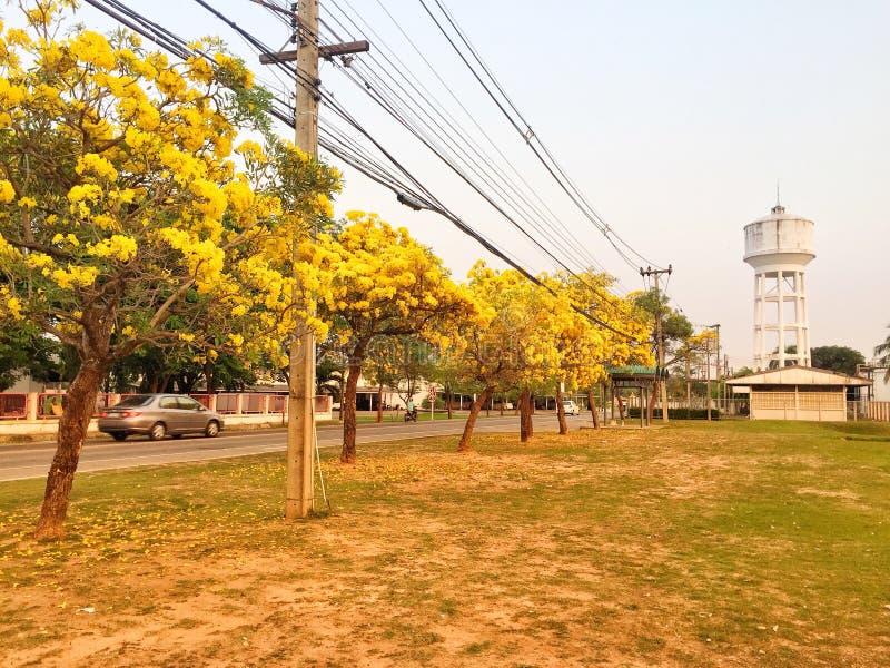 Gul blomma i det trädgårds- silvertrumpetträdet fotografering för bildbyråer