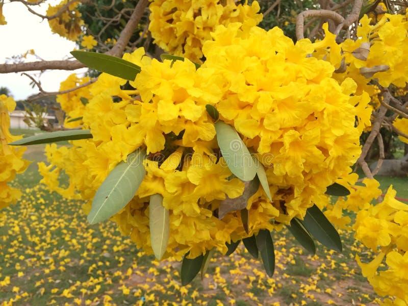 Gul blomma i det trädgårds- silvertrumpetträdet arkivfoton
