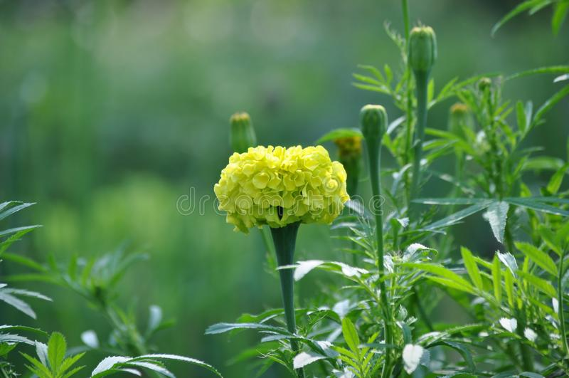 Gul blomma i en sommarträdgård royaltyfri foto