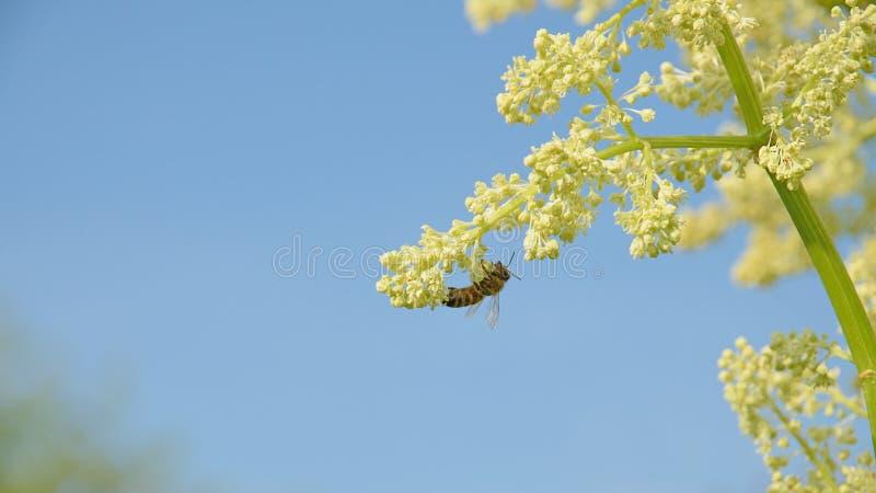 Gul blomma med biet mot den blåa himlen royaltyfri bild