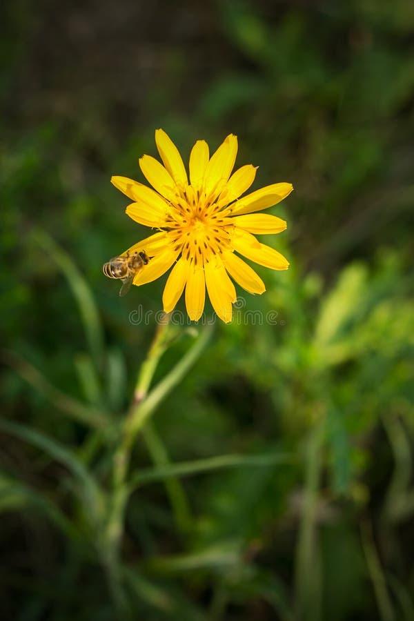 Gul blomma med ett bi royaltyfri foto