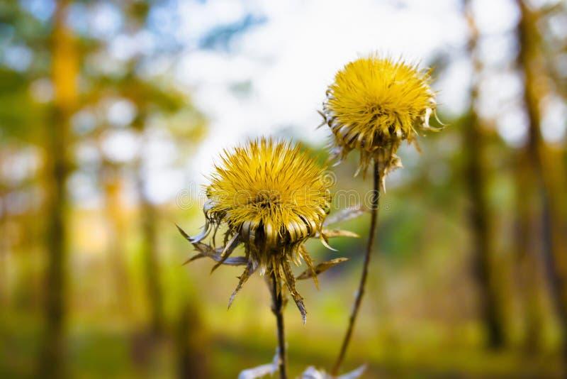 Gul blomma med skarpa sidor arkivbilder