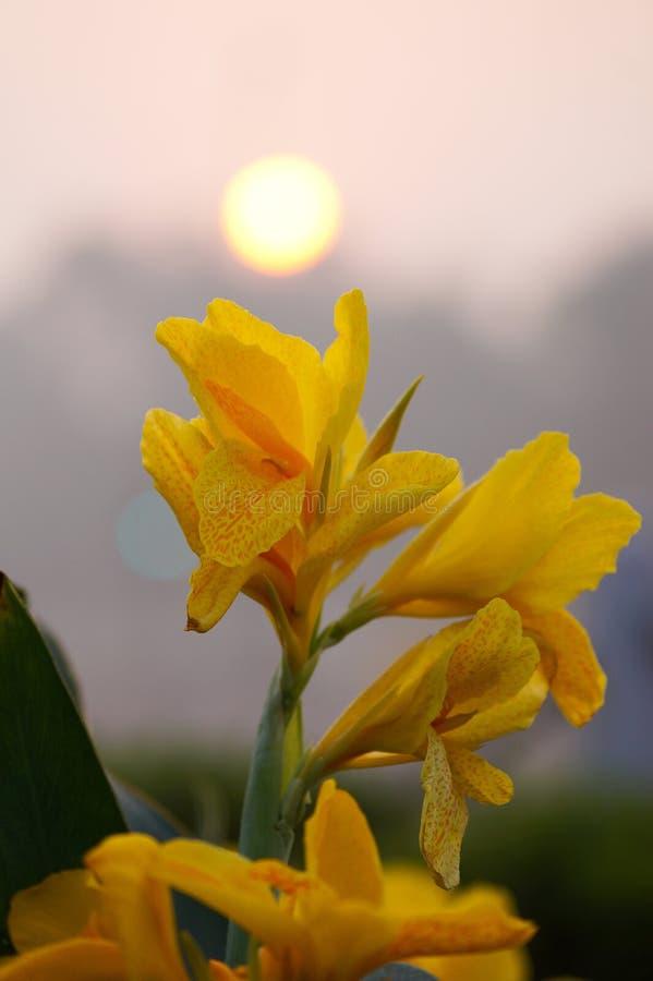 Gul blomma- och morgonsoluppgång arkivfoton