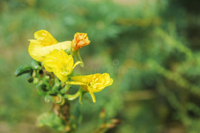 Gul blomma på bakgrund av grönt gräs royaltyfri foto