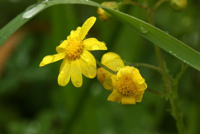 Gul blomma på den gröna bakgrunden royaltyfria foton