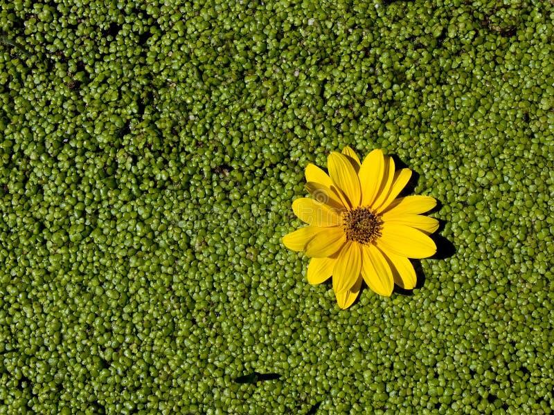 Gul blomma på duckweeden fotografering för bildbyråer