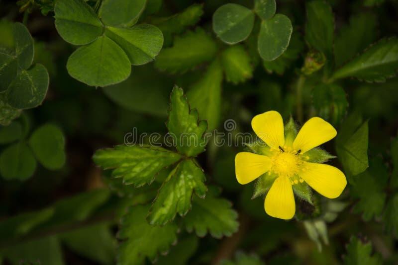 Gul blomma på en mörk bakgrund royaltyfria bilder