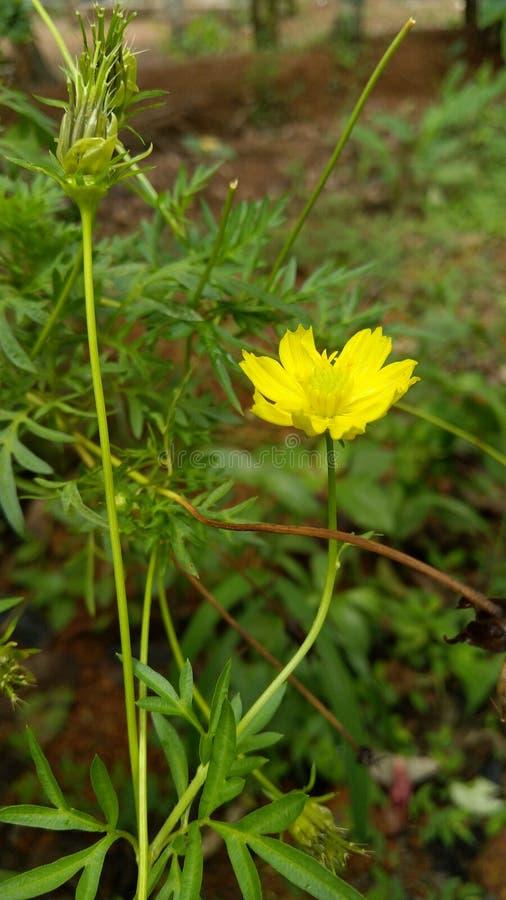 Gul blomma på morgonsikten i Indien royaltyfri bild