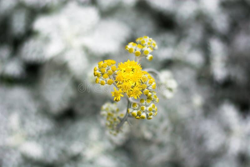 Gul blomma på suddighetsvitbladet arkivfoton