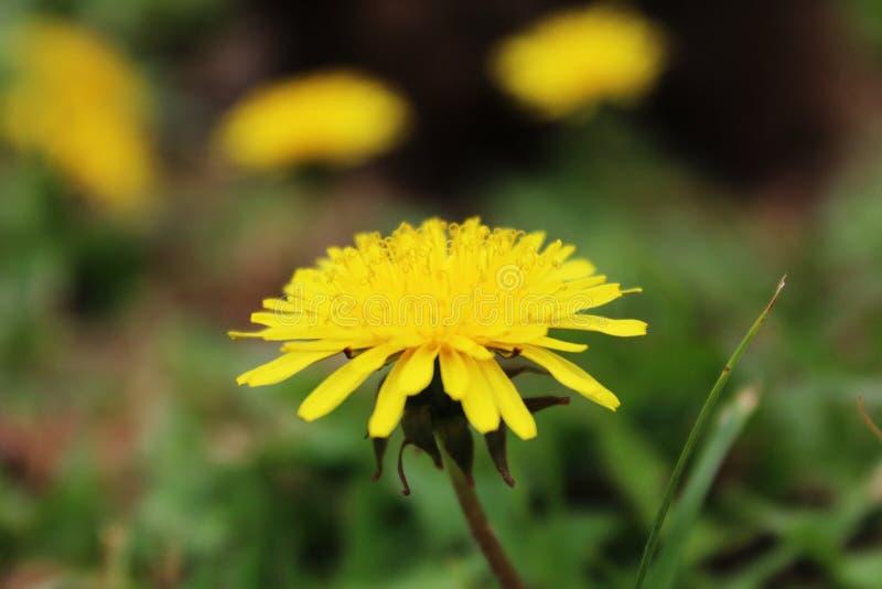 Gul blomma p? Tenerife, kanarief?gel?ar royaltyfri foto