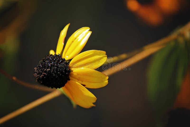 Gul blomma, rudbeckia arkivbild