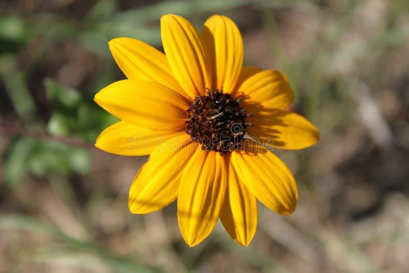 Gul blomma som blommar från bakgård royaltyfria bilder