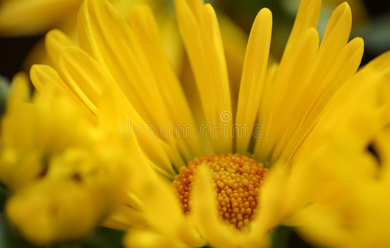 Gul blommacloseup royaltyfria bilder