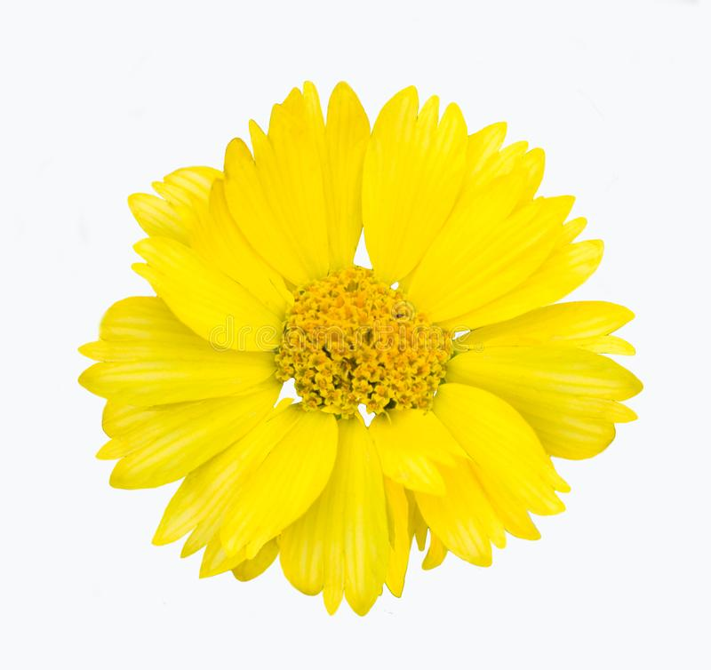 Gul blommaisolat royaltyfria foton
