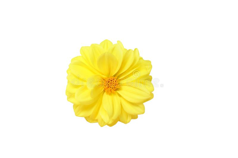 Gul blommaknopp av dahlian isolate royaltyfria foton