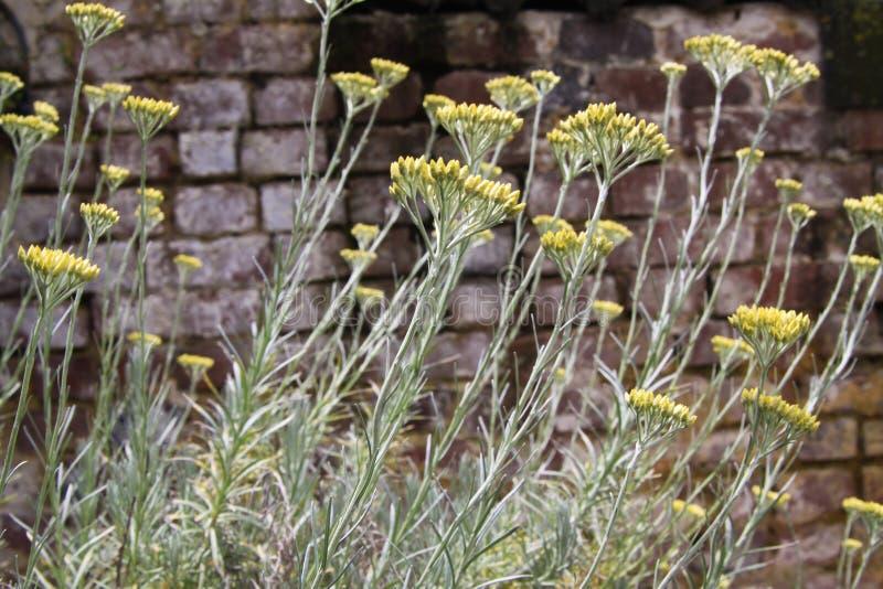 Gul blommande italicum för curryväxtHelichrysum i tysk trädgård med gammal riden ut bakgrund för tegelstenvägg arkivbild