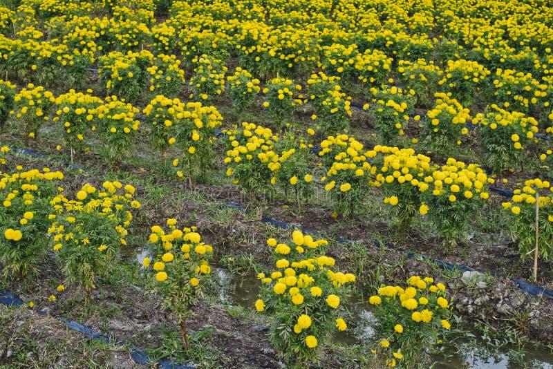 Gul blommaringblommaträdgård royaltyfria foton