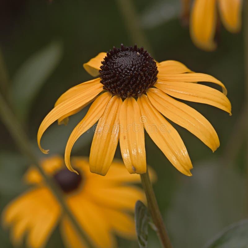 Gul blommaRudbeckia arkivbild