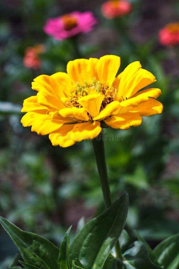 Gul blommaZinnia som blommar i trädgård på solig sommardag fotografering för bildbyråer