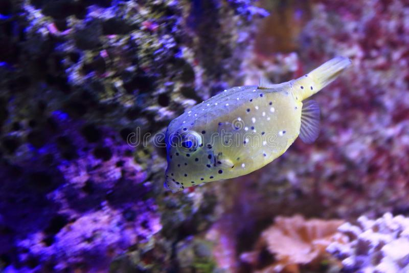 Download Gul boxfish arkivfoto. Bild av angus, natur, flotta - 106832150